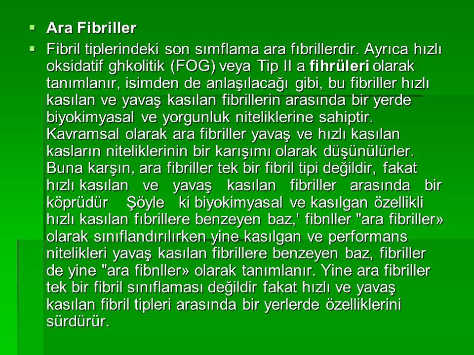  Ara Fibriller  Fibril tiplerindeki son sımflama ara fıbrillerdir. Ayrıca hızlı oksidatif ghkolitik (FOG) veya Tip II a fihrüleri olarak tanımlanır,
