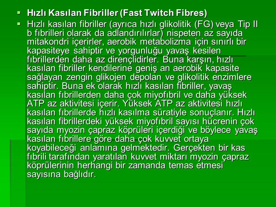  Hızlı Kasılan Fibriller (Fast Twitch Fibres)  Hızlı kasılan fibriller (ayrıca hızlı glikolitik (FG) veya Tip II b fıbrilleri olarak da adlandırılır