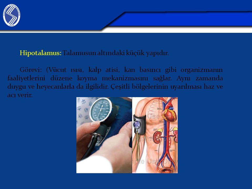 Hipotalamus: Talamusun altındaki küçük yapıdır.