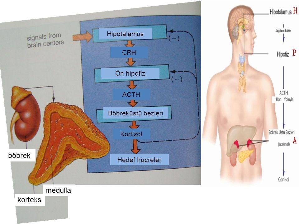 korteks Hedef hücreler medulla böbrek Kortizol ACTH CRH Böbreküstü bezleri Hipotalamus Ön hipofiz