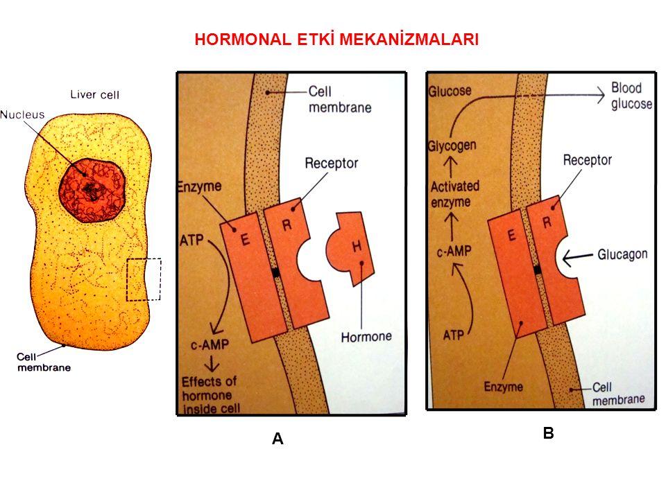 A B HORMONAL ETKİ MEKANİZMALARI