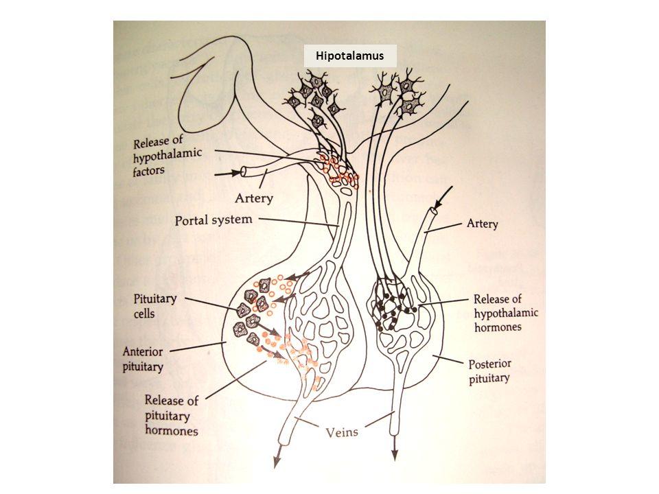 Hipotalamus