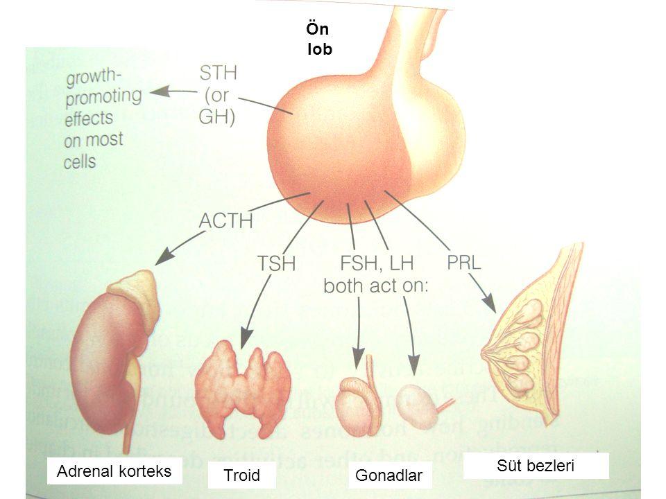 Gonadlar Süt bezleri Troid Adrenal korteks Ön lob