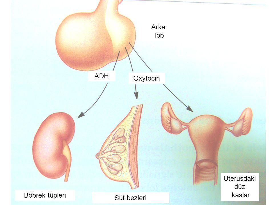 Arka lob ADH Oxytocin Süt bezleri Böbrek tüpleri Uterusdaki düz kaslar