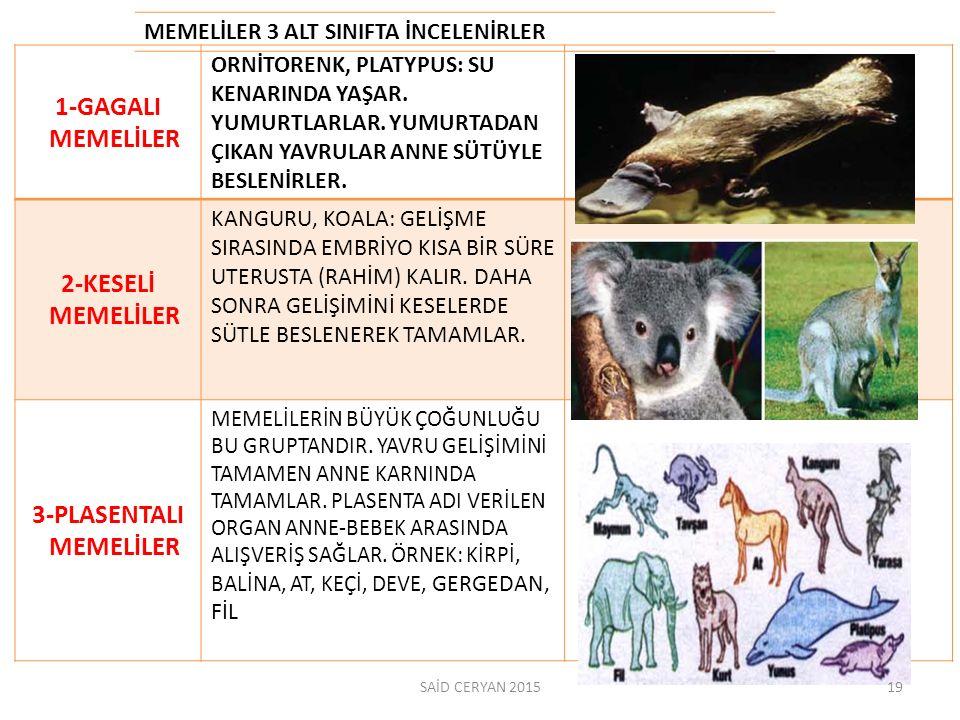 MEMELİLER 3 ALT SINIFTA İNCELENİRLER 1-GAGALI MEMELİLER ORNİTORENK, PLATYPUS: SU KENARINDA YAŞAR.