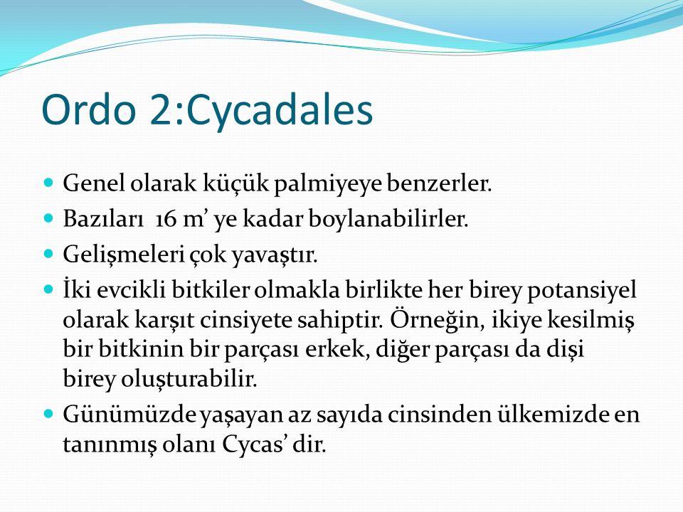 Ordo 2:Cycadales Genel olarak küçük palmiyeye benzerler. Bazıları 16 m' ye kadar boylanabilirler. Gelişmeleri çok yavaştır. İki evcikli bitkiler olmak