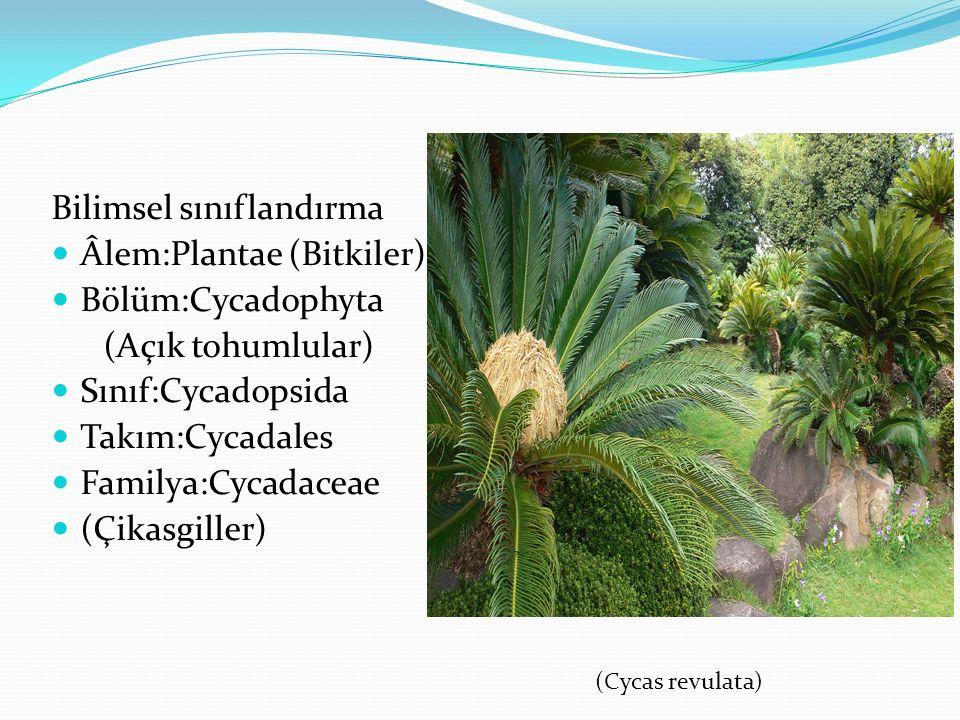 Bilimsel sınıflandırma Âlem:Plantae (Bitkiler) Bölüm:Cycadophyta (Açık tohumlular) Sınıf:Cycadopsida Takım:Cycadales Familya:Cycadaceae (Çikasgiller)