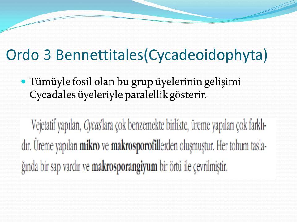 Ordo 3 Bennettitales(Cycadeoidophyta) Tümüyle fosil olan bu grup üyelerinin gelişimi Cycadales üyeleriyle paralellik gösterir.
