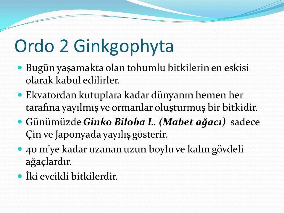 Ordo 2 Ginkgophyta Bugün yaşamakta olan tohumlu bitkilerin en eskisi olarak kabul edilirler. Ekvatordan kutuplara kadar dünyanın hemen her tarafına ya