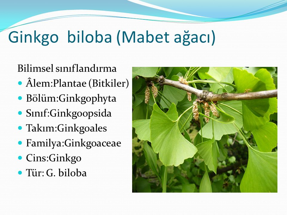 Ginkgo biloba (Mabet ağacı) Bilimsel sınıflandırma Âlem:Plantae (Bitkiler) Bölüm:Ginkgophyta Sınıf:Ginkgoopsida Takım:Ginkgoales Familya:Ginkgoaceae C