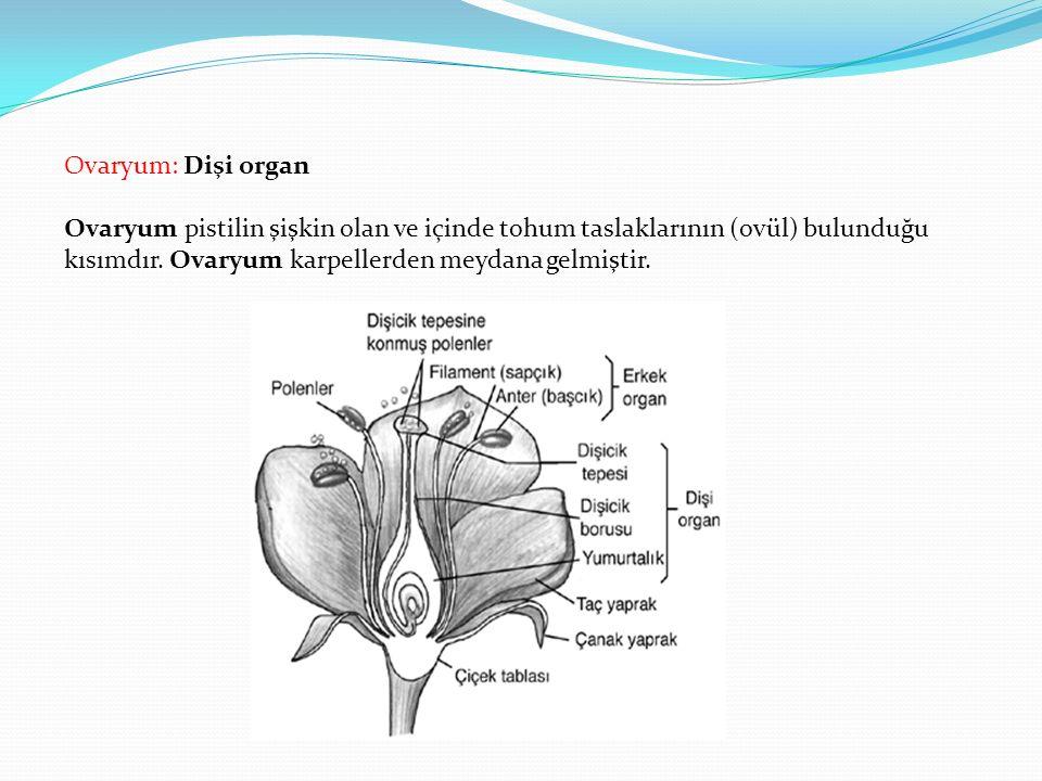 Ovaryum: Dişi organ Ovaryum pistilin şişkin olan ve içinde tohum taslaklarının (ovül) bulunduğu kısımdır. Ovaryum karpellerden meydana gelmiştir.