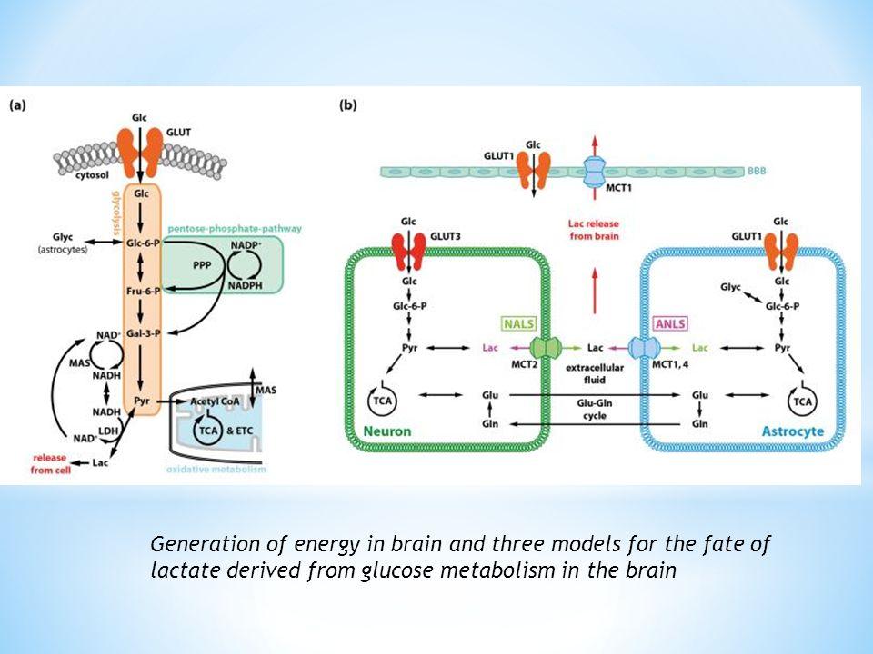 Astrosit, Nöronlar ve Laktat arasındaki Metabolik Etkileşim Nöronlar ve astrositler ANSL NALS Hareketsizlik ve laktat Fiziksel Aktivite ve laktat