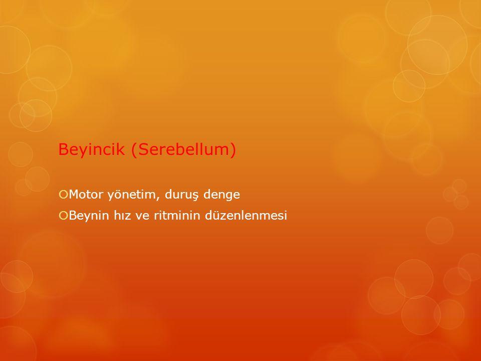 Beyincik (Serebellum)  Motor yönetim, duruş denge  Beynin hız ve ritminin düzenlenmesi
