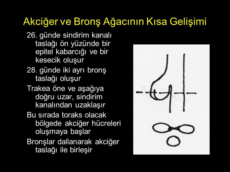 R ALT LOB – Bazal segment bronşları Medial bazal segment bronşuAnterior ve Lateral ortak bronşu Posterior segment bronşu Anterior segment bronşu Lateral segment bronşu