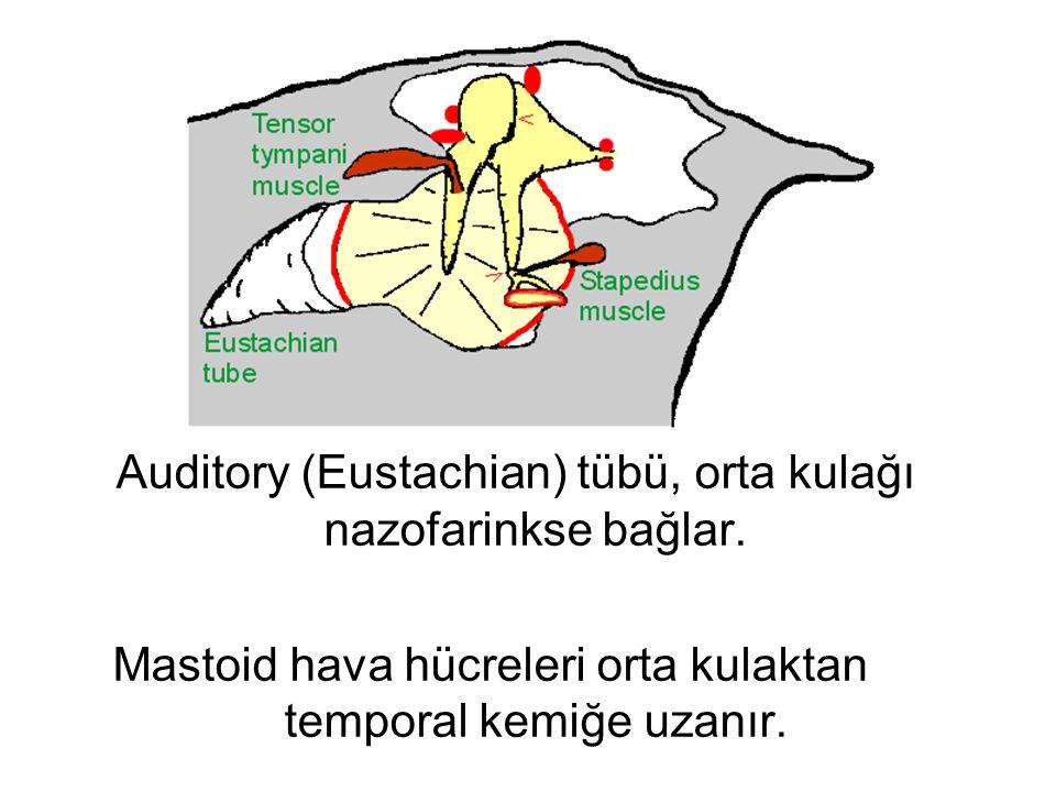 Auditory (Eustachian) tübü, orta kulağı nazofarinkse bağlar. Mastoid hava hücreleri orta kulaktan temporal kemiğe uzanır.