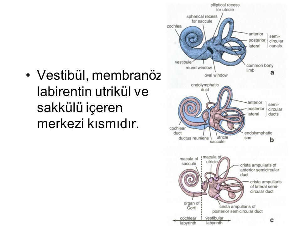 Vestibül, membranöz labirentin utrikül ve sakkülü içeren merkezi kısmıdır.