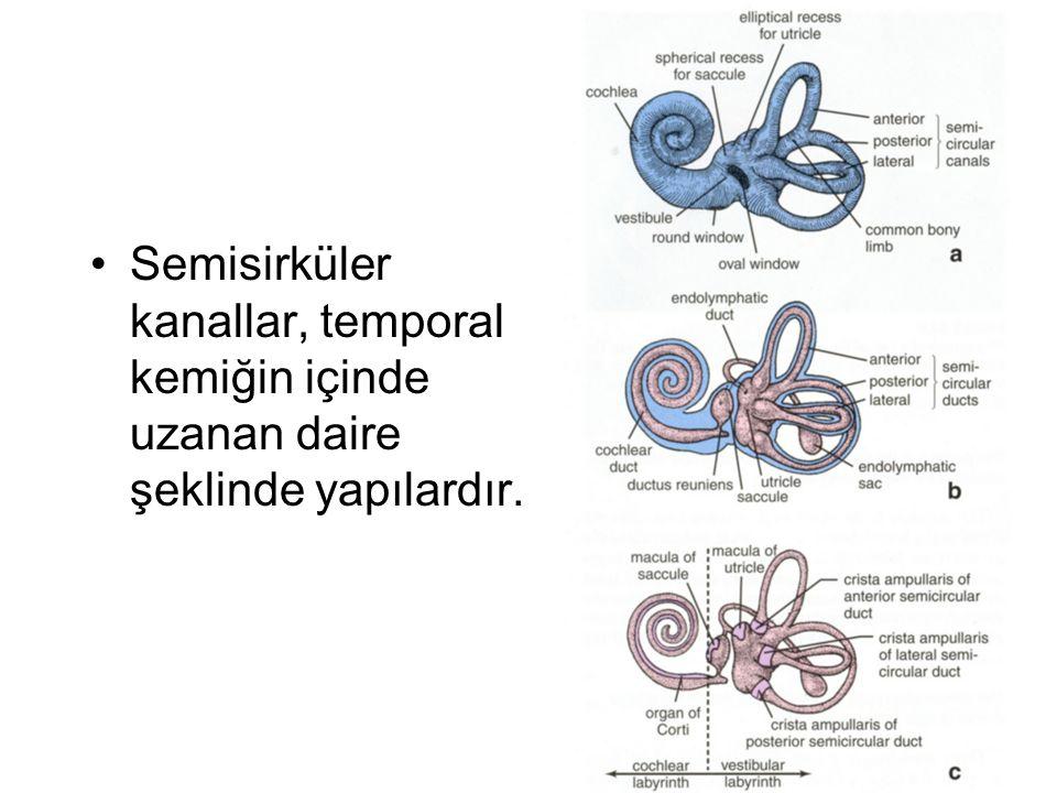 Semisirküler kanallar, temporal kemiğin içinde uzanan daire şeklinde yapılardır.