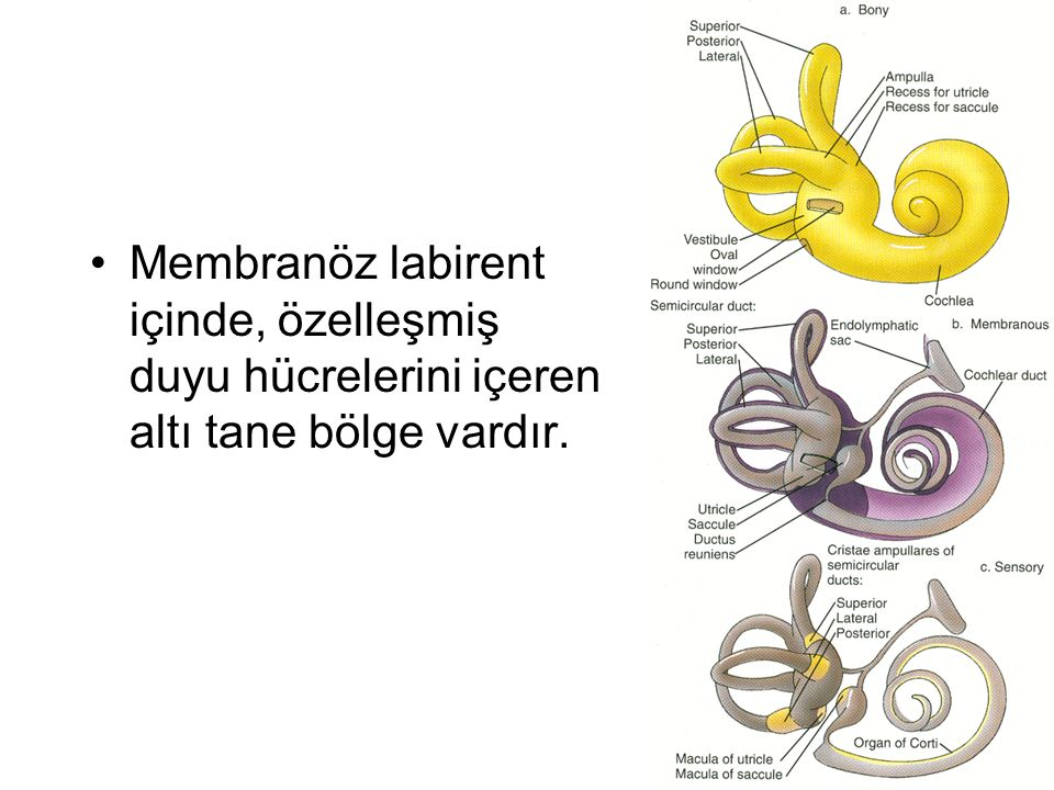 Membranöz labirent içinde, özelleşmiş duyu hücrelerini içeren altı tane bölge vardır.