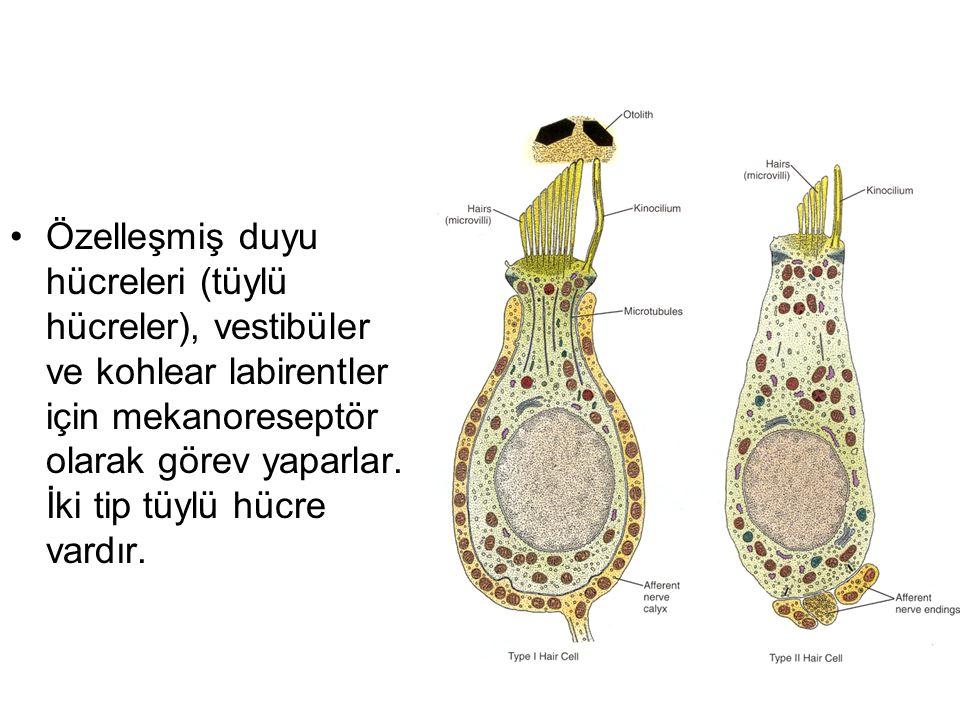 Özelleşmiş duyu hücreleri (tüylü hücreler), vestibüler ve kohlear labirentler için mekanoreseptör olarak görev yaparlar. İki tip tüylü hücre vardır.