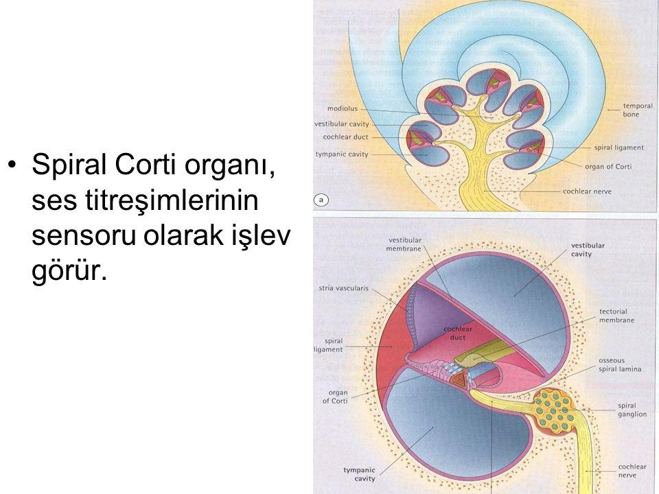 Spiral Corti organı, ses titreşimlerinin sensoru olarak işlev görür.