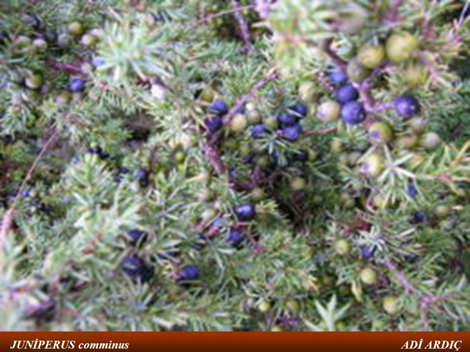 ALEM:plantea BÖLÜM:pinophyta SINIF:Pinopsida TAKIM:Pinales FAMİLYA:Cupressaceae CİNS:Juniperus TÜR:Juniperus comminus (adi ardıç) JUNİPERUS comminus ADİ ARDIÇ