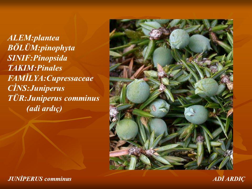 ALEM:plantea BÖLÜM:pinophyta SINIF:Pinopsida TAKIM:Pinales FAMİLYA:Cupressaceae CİNS:Juniperus TÜR:Juniperus comminus (adi ardıç) JUNİPERUS comminus A