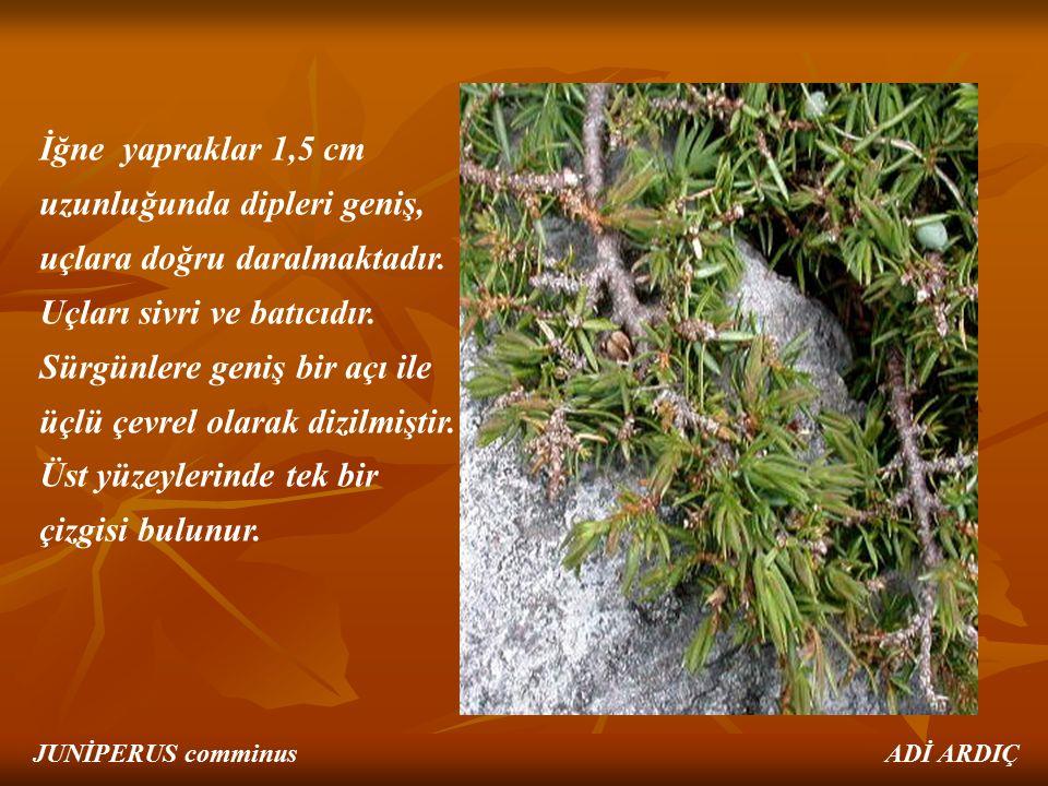 İğne yapraklar 1,5 cm uzunluğunda dipleri geniş, uçlara doğru daralmaktadır. Uçları sivri ve batıcıdır. Sürgünlere geniş bir açı ile üçlü çevrel olara
