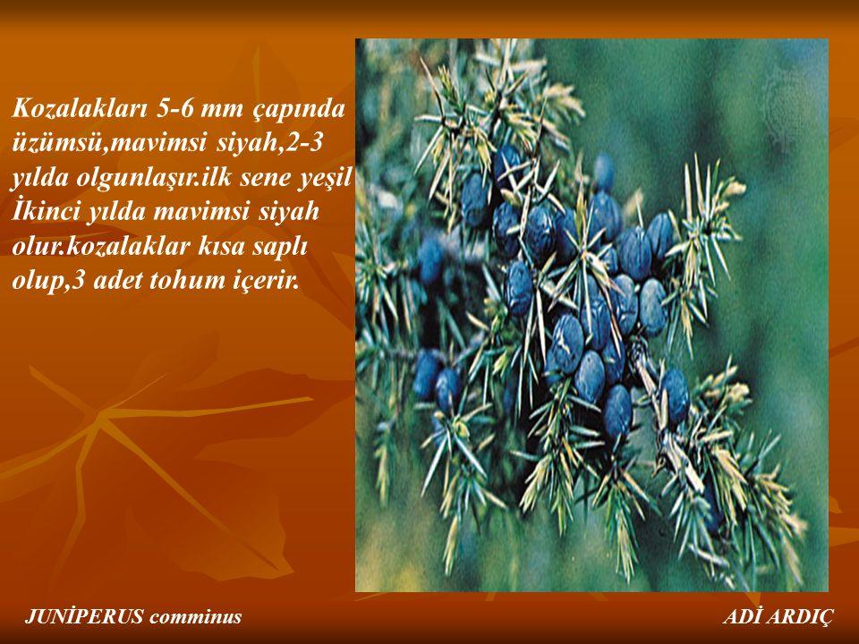 Kozalakları 5-6 mm çapında üzümsü,mavimsi siyah,2-3 yılda olgunlaşır.ilk sene yeşil İkinci yılda mavimsi siyah olur.kozalaklar kısa saplı olup,3 adet