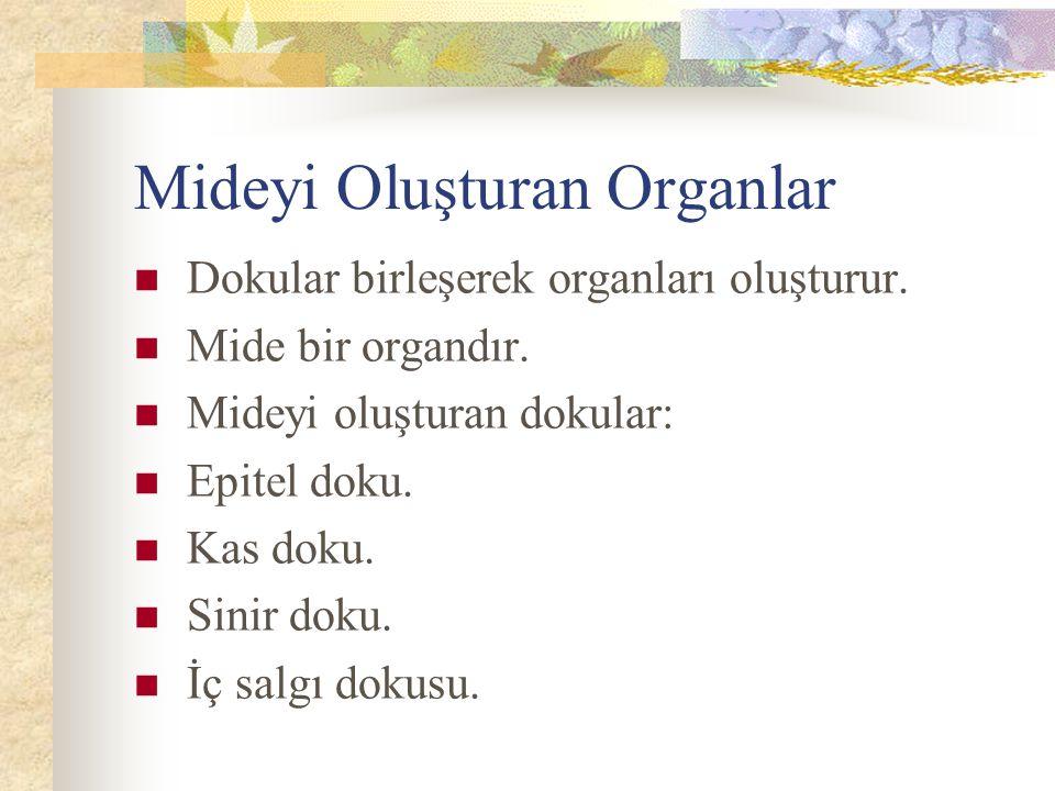 Mideyi Oluşturan Organlar Dokular birleşerek organları oluşturur.