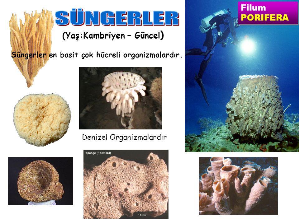 Filum PORIFERA Filum PORIFERA (Yaş:Kambriyen – Güncel ) Süngerler en basit çok hücreli organizmalardır.