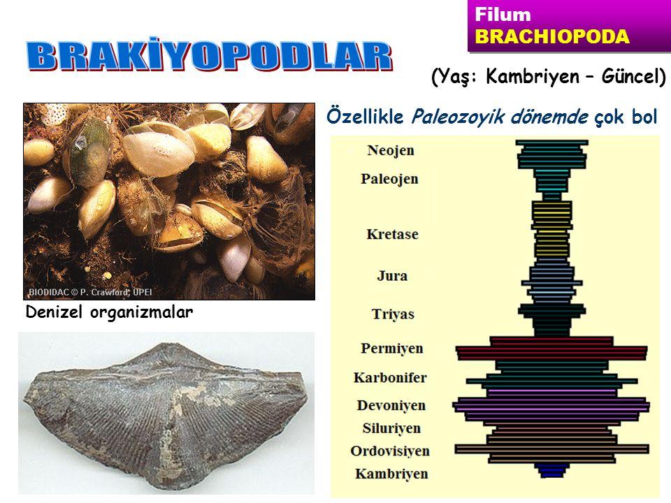 Denizel organizmalar (Yaş: Kambriyen – Güncel) Filum BRACHIOPODA Filum BRACHIOPODA Özellikle Paleozoyik dönemde çok bol