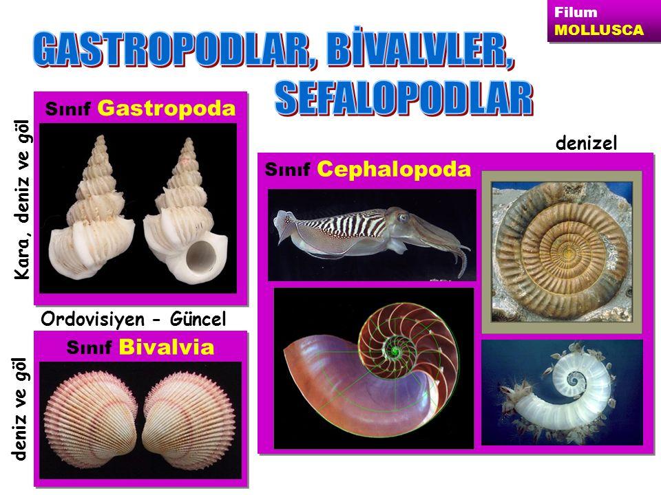 Filum MOLLUSCA Filum MOLLUSCA Sınıf Bivalvia Sınıf Gastropoda Sınıf Cephalopoda deniz ve göl Ordovisiyen - Güncel Kara, deniz ve göl denizel