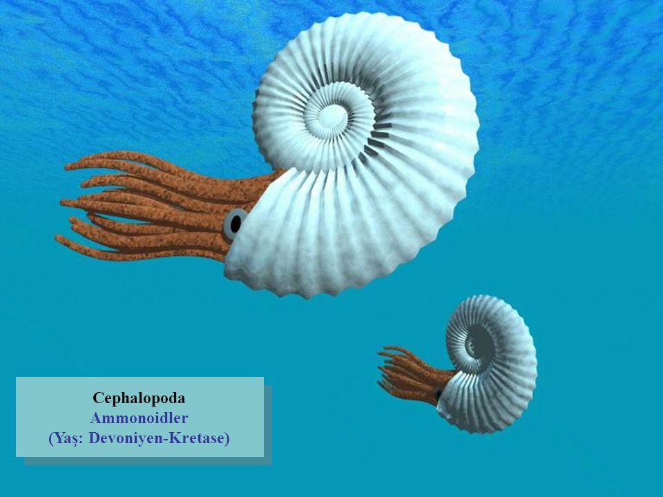 Cephalopoda Ammonoidler (Yaş: Devoniyen-Kretase)