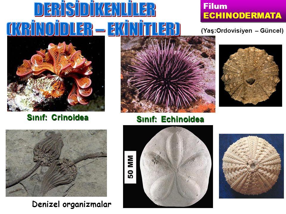 Sınıf: Echinoidea Sınıf: Crinoidea Filum ECHINODERMATA Filum ECHINODERMATA (Yaş:Ordovisiyen – Güncel) Denizel organizmalar