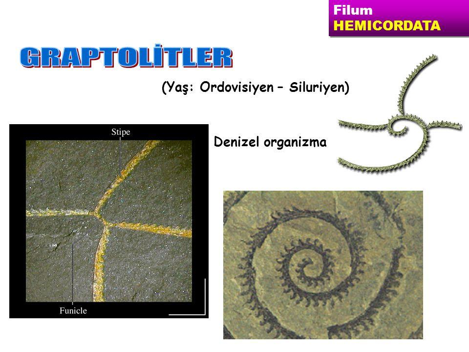 Filum HEMICORDATA Filum HEMICORDATA (Yaş: Ordovisiyen – Siluriyen) Denizel organizma