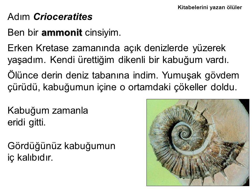 Adım Crioceratites Ben bir a aa ammonit cinsiyim.