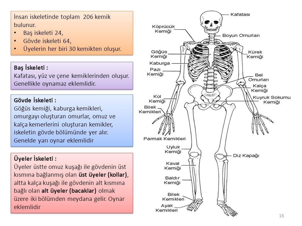 Baş İskeleti : Kafatası, yüz ve çene kemiklerinden oluşur.