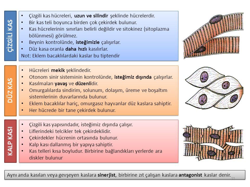 Çizgili kas hücreleri, uzun ve silindir şeklinde hücrelerdir.