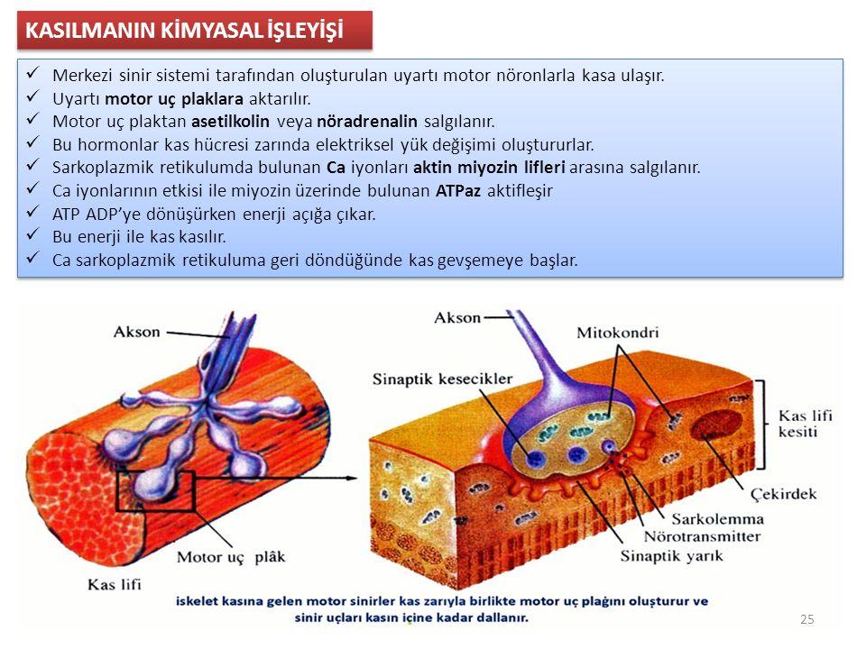 KASILMANIN KİMYASAL İŞLEYİŞİ Merkezi sinir sistemi tarafından oluşturulan uyartı motor nöronlarla kasa ulaşır.