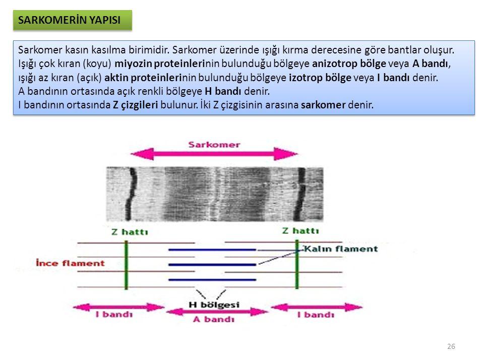 SARKOMERİN YAPISI Sarkomer kasın kasılma birimidir.