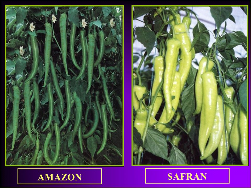 AMAZON SAFRAN