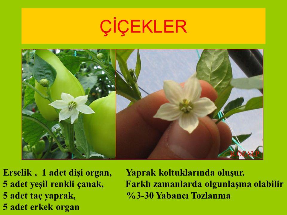 ÇİÇEKLER Erselik, 1 adet dişi organ, Yaprak koltuklarında oluşur. 5 adet yeşil renkli çanak, Farklı zamanlarda olgunlaşma olabilir 5 adet taç yaprak,
