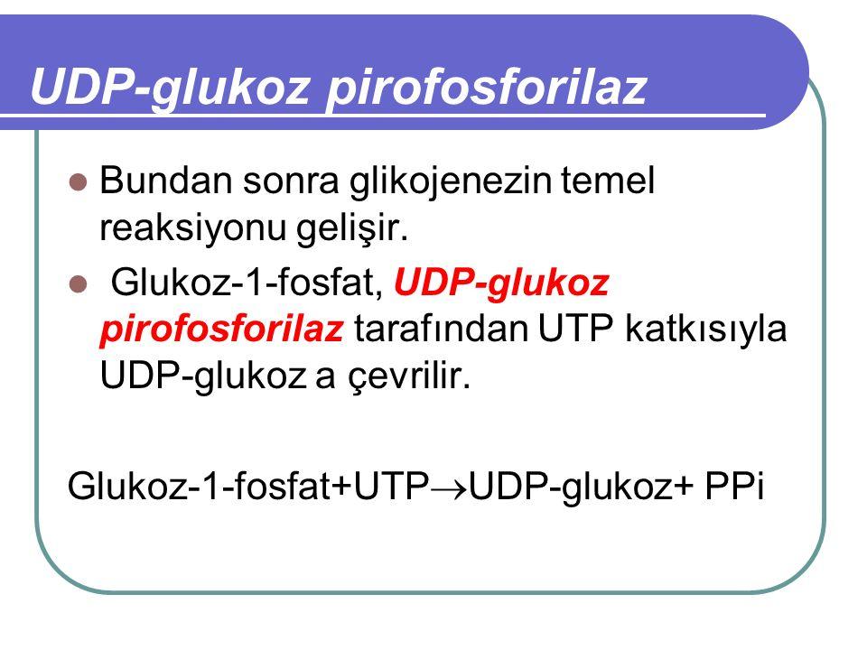 UDP-glukoz pirofosforilaz Bundan sonra glikojenezin temel reaksiyonu gelişir. Glukoz-1-fosfat, UDP-glukoz pirofosforilaz tarafından UTP katkısıyla UDP