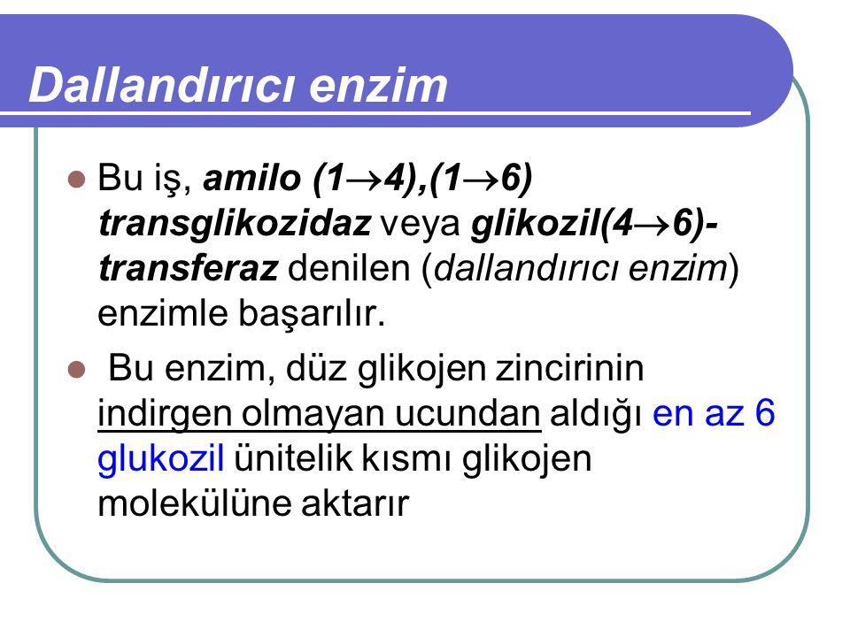 Dallandırıcı enzim Bu iş, amilo (1  4),(1  6) transglikozidaz veya glikozil(4  6)- transferaz denilen (dallandırıcı enzim) enzimle başarılır. Bu en