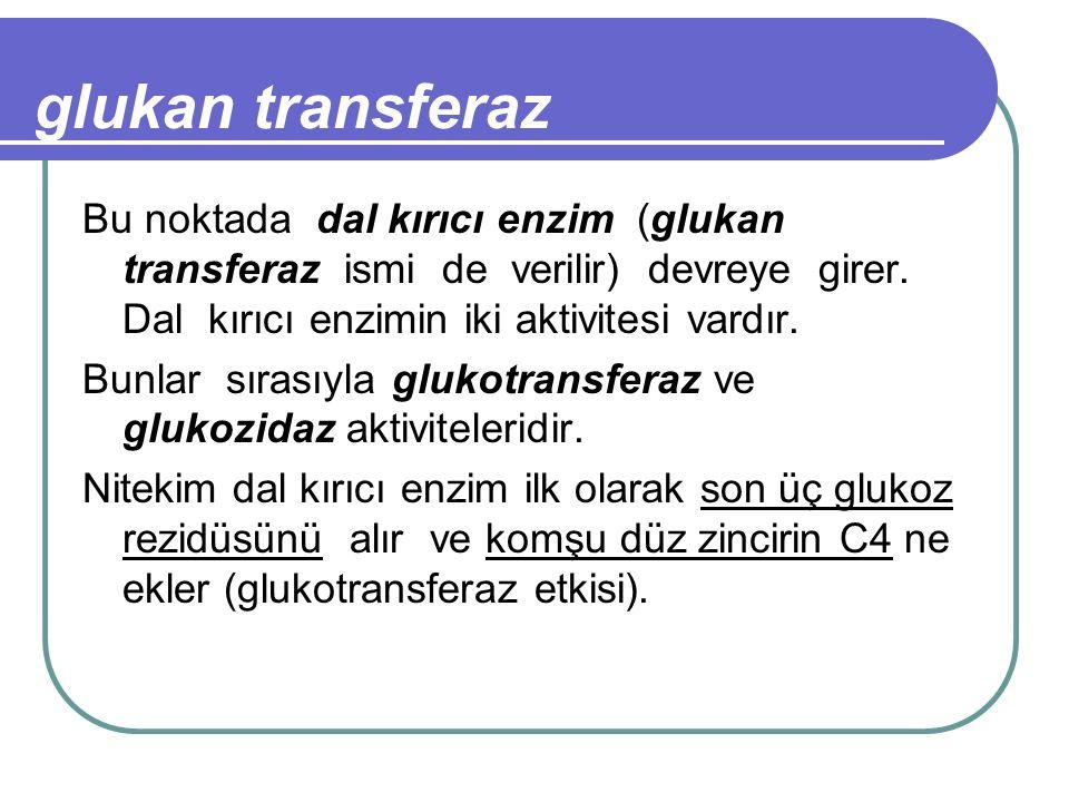 glukan transferaz Bu noktada dal kırıcı enzim (glukan transferaz ismi de verilir) devreye girer. Dal kırıcı enzimin iki aktivitesi vardır. Bunlar sıra