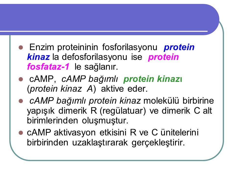 Enzim proteininin fosforilasyonu protein kinaz la defosforilasyonu ise protein fosfataz-1 le sağlanır. cAMP, cAMP bağımlı protein kinazı (protein kina