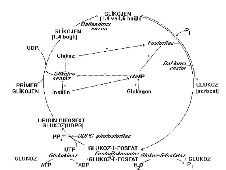 Glikojen Fosforilaz ve glikojen sentaz da görülen aktivasyon değişiklikleri cAMP ile başlatılan bir seri reaksiyonla gerçekleşir.