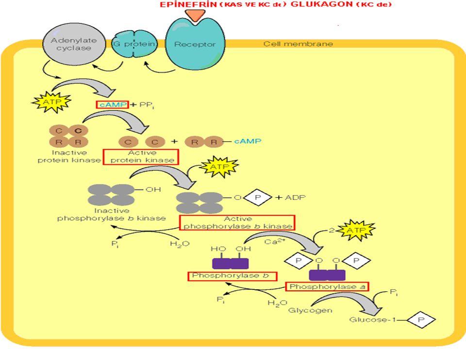 Bu aşamalarda fosfat grubu bağlayarak aktifleşen enzimler, bu grubun(fosfatın) protein fosfataz-1 le uzaklaştırılması sonucu aktivasyonlarını kaybeder ve inaktif konuma geçerler.