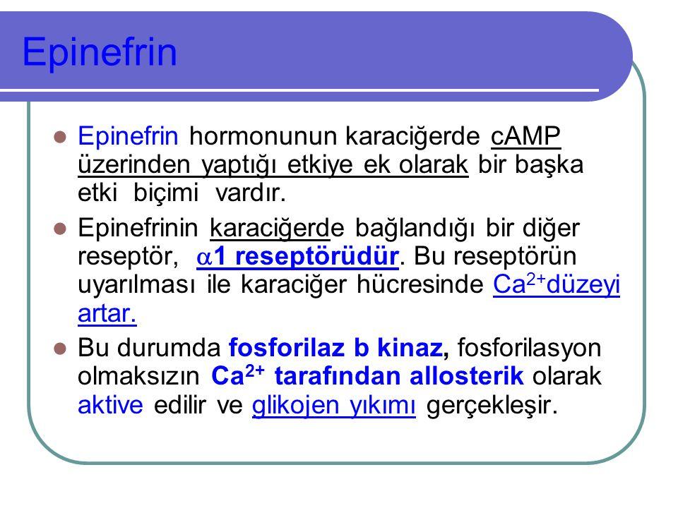 Epinefrin Epinefrin hormonunun karaciğerde cAMP üzerinden yaptığı etkiye ek olarak bir başka etki biçimi vardır. Epinefrinin karaciğerde bağlandığı bi