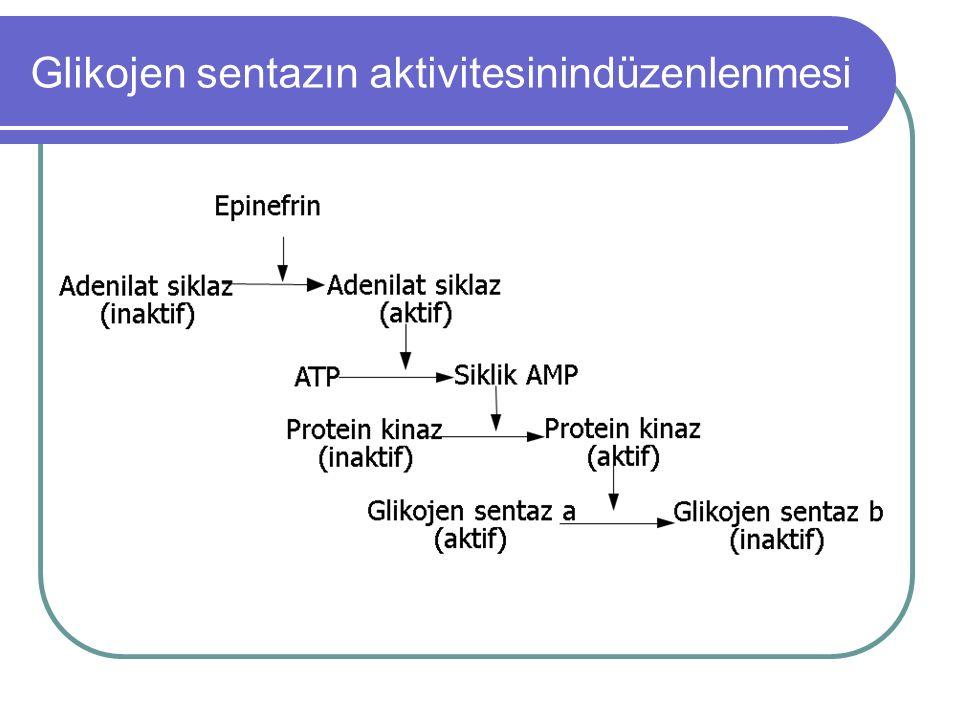 Glikojen sentazın aktivitesinindüzenlenmesi